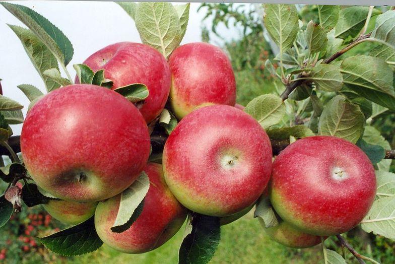 Zbiory jabłek w 2015 roku. Susza zniszczyła wiele sadów