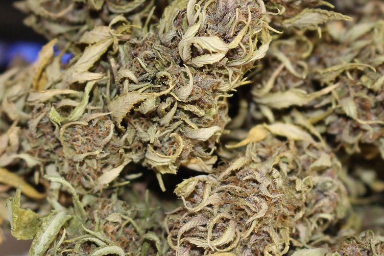 Marihuana lecznicza najczęściej występuje w postaci suszu.