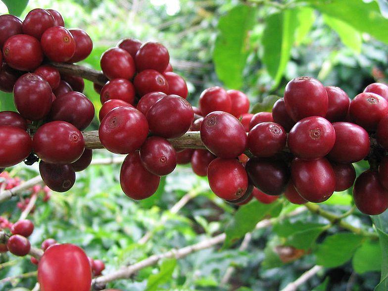 Strajk producentów kawy w Kolumbii