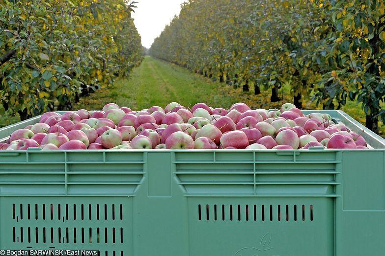 W 2016 r. w Biedronkach sprzedano 66 mln kg jabłek