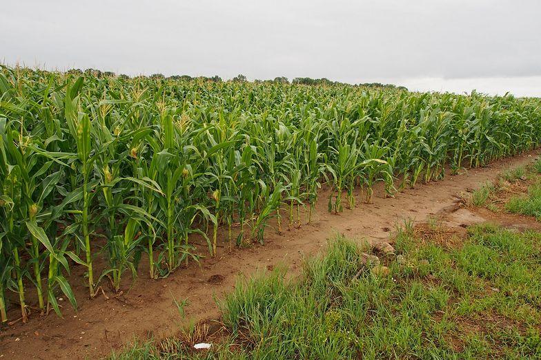 Straty w rolnictwie w tym roku wyniosły już ponad 300 mln zł