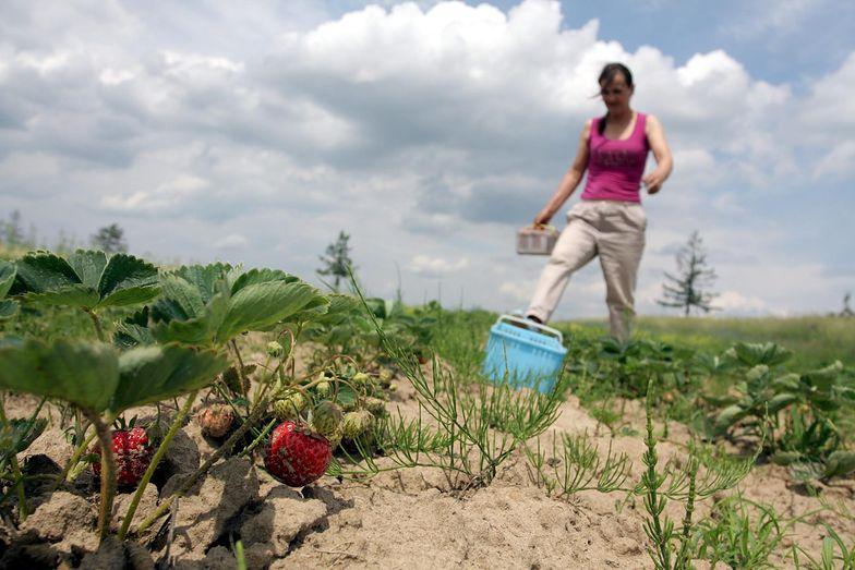 Bieliny to prawdziwe zagłębie producentów truskawek