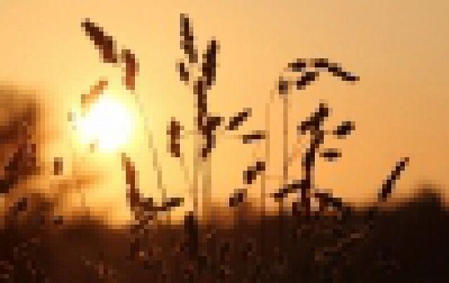 Jak obliczyć ilości wysiewu zbóż