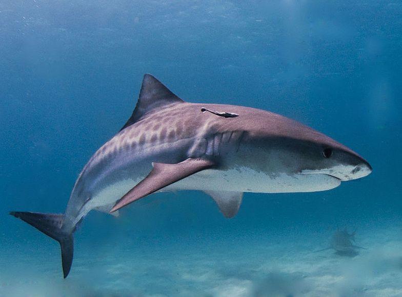 Zakaz handlu płetwami rekinów w Teksasie