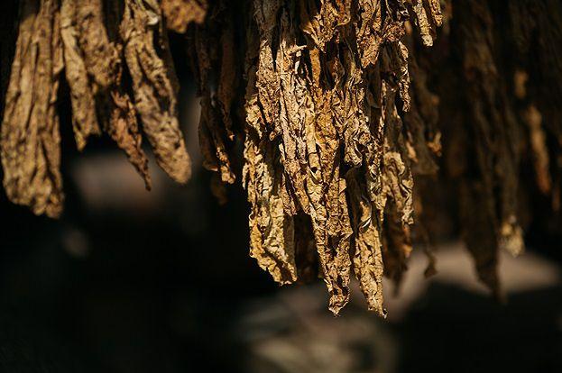 Polska jest drugim największym producentem wyrobów tytoniowych w Unii Europejskiej.