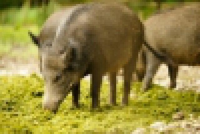 ARIMR - wypłata rekompensat za dziki