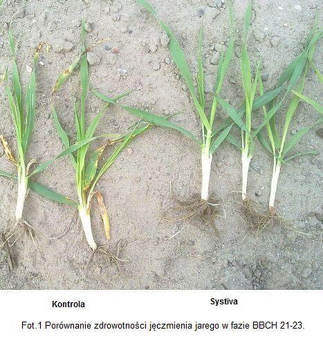 BASF potwierdza skuteczność bezopryskowej metody ochrony fungicydowej jęczmienia