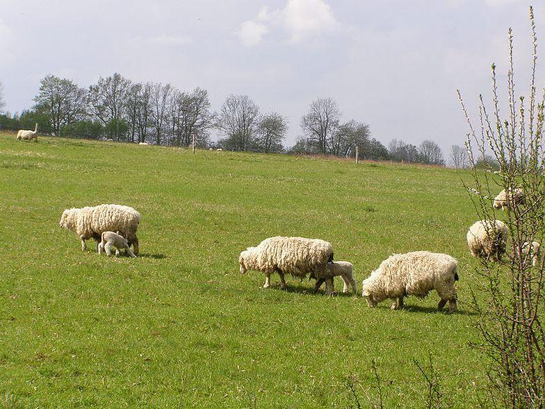 To był trudny sezon dla owczarzy. Owce schodzą z góry, bacówki do likwidacji