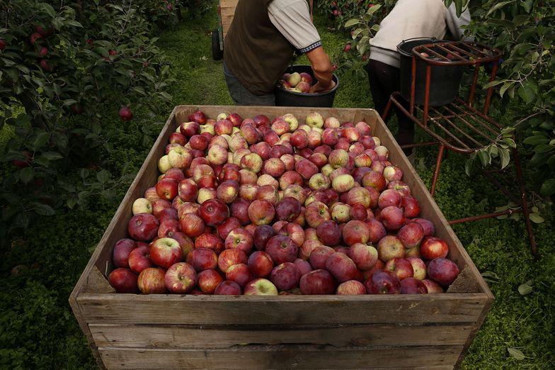 Rolnictwo. Klęska urodzaju jabłek. Sadowników ratują Egipcjanie
