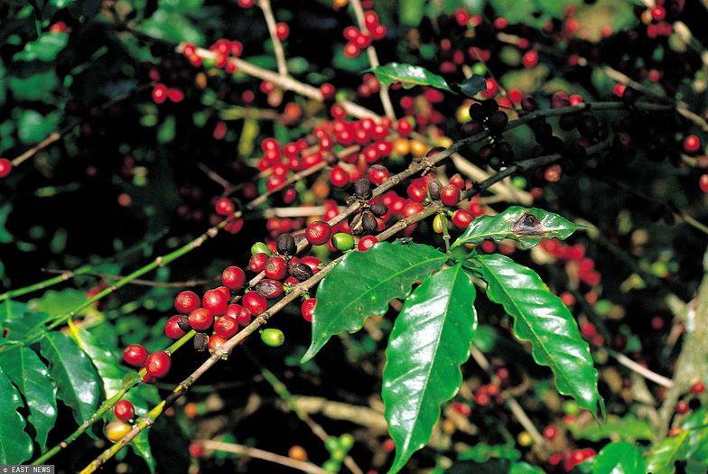Kawa mocno podrożeje. Przez zniszczone klęską pogodową uprawy