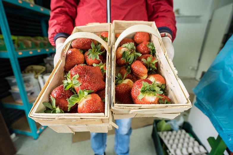Ceny truskawek spadają. Rolnicy mają dość