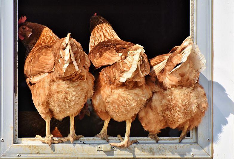 Bułgarzy nie wpuścili 32 ton zakażonego mięsa