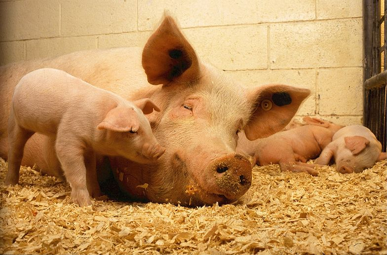 KOWR: Eksport wieprzowiny spadł o 3% r/r do 218 tys. ton w I-IV 2020 r.
