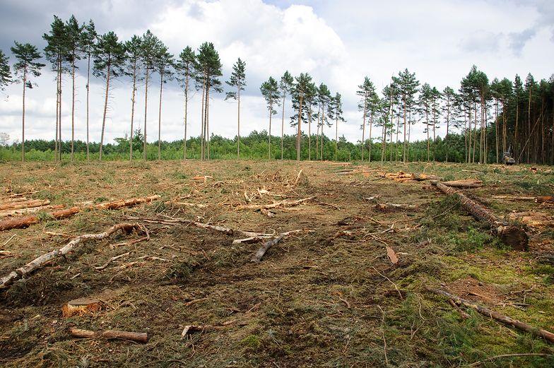 W Polsce trwa wielka wycinka drzew? Lasy Państwowe zaprzeczają… na Twitterze