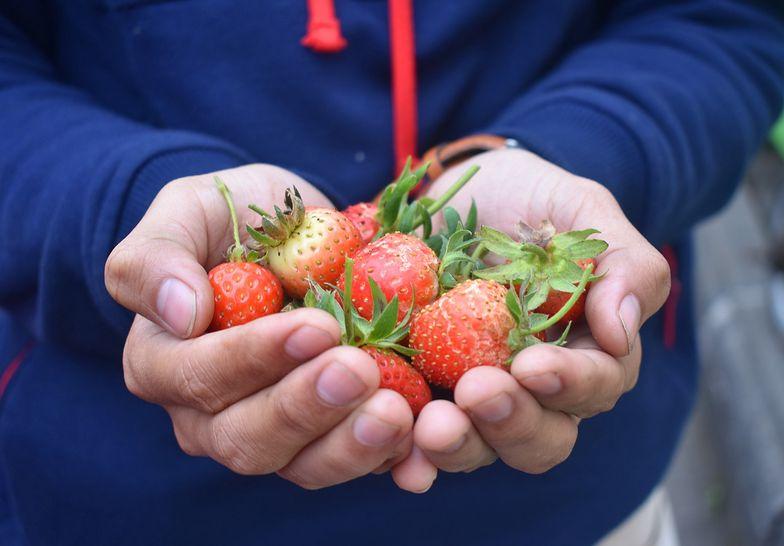Kto w tym roku zbierze truskawki?