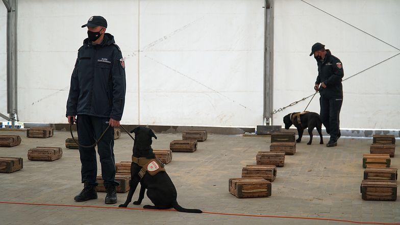 Koronawirus w Polsce. Zamiast testu... pies. Czworonogi ze skarbówki pomogą w wykrywaniu wirusa