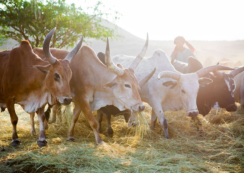 Polska mleczarnia pod Kilimandżaro. Fundacja inwestuje w Afryce