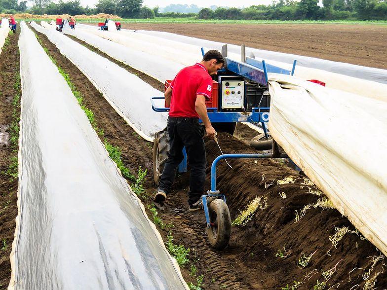 W Niemczech plantatorzy i rolnicy co roku zatrudniają ok. 300 tys. pracowników z zagranicy.