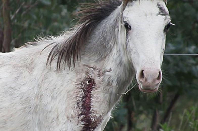 Wampirze farmy koni. Ich krew służy do produkcji wieprzowiny