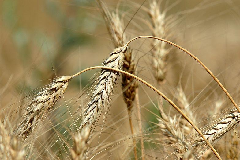 GUS: Powierzchnia zasiewów zbóż podstaw. wzrosła o 2,2% r/r w br. do 7,3 mln ha