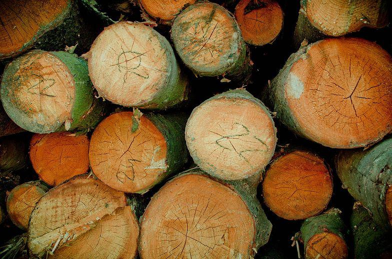Eksportujemy miliony metrów drewna. Branża drzewna: to gospodarka rabunkowa