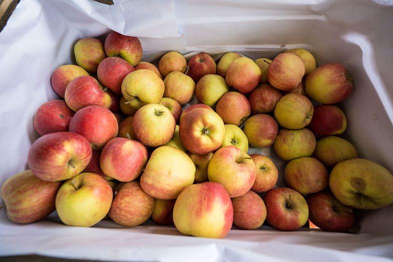 Sezon na polskie jabłka. Sadownicy mniej optymistyczni