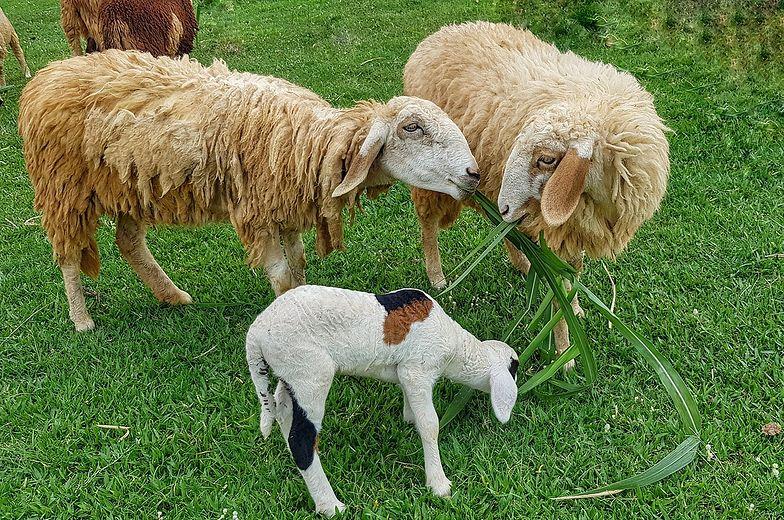 """Owce podczas """"koszenia"""" trawy."""