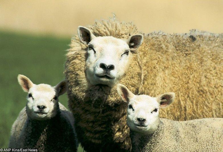 Owce lepsze niż krowy? Tylko w województwie śląskim