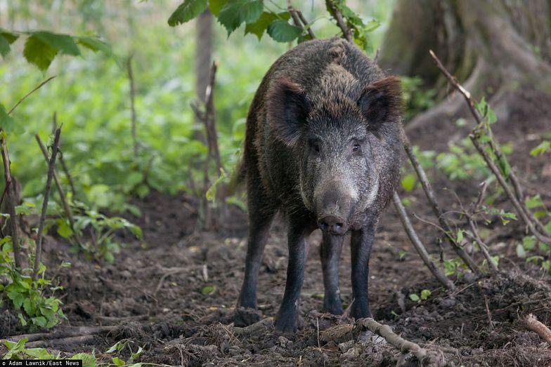 Chore dziki są znajdowane coraz bliżej polsko-niemieckiej granicy