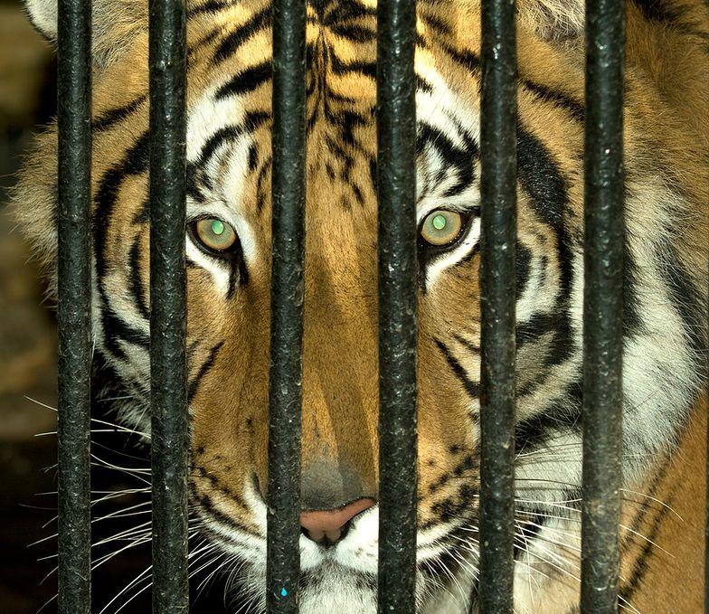 Sprawa tygrysów spod białoruskiej granicy zelektryzowała Polskę i pokazała, jak niedoskonałe jest nasze prawo, gdy chodzi o ratowanie zwierząt w niebezpieczeństwie