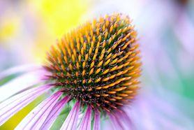 Echinacea - zastosowanie, działanie, wpływ na odporność, przeciwwskazania, preparaty