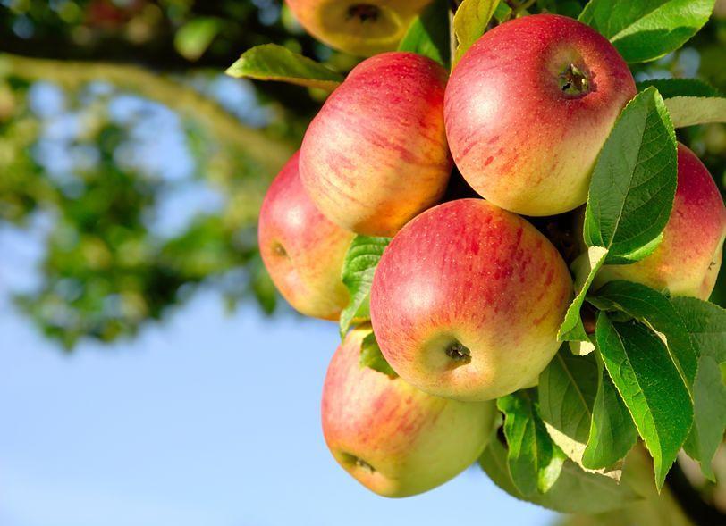 Dlaczego warto jeść jabłka?