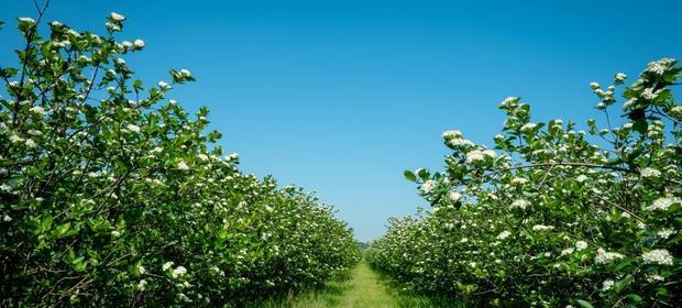 Kwitnące krzewy aronii na plantancji Bio Juice