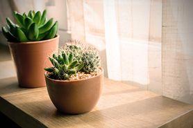 Dlaczego warto mieć kaktusy w domu? (WIDEO)
