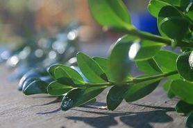 Niebezpieczne rośliny w koszyczku wielkanocnym