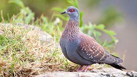 Obrzeżek gołębi. Niebezpieczny gatunek kleszcza (WIDEO)