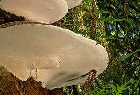 Huba – grzyb nadrzewny o wielu obliczach. Czy jest jadalny?