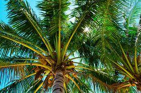 Serce palmy – jak wygląda i jak je jeść?
