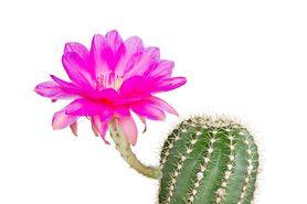 Kaktus - charakterystyka, odmiany, zasady pielęgnacji, właściwości, zastosowanie