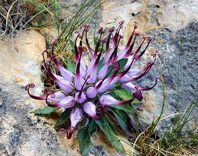 Harpagophytum procumbens - jak i kiedy stosować czarci pazur