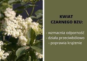 Kwiat czarnego bzu - charakterystyka, właściwości, zastosowanie