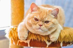 Kot brytyjski – charakter, choroby, pielęgnacja