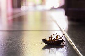 Pozbądź się karaluchów i prusaków z domu. Niezawodne sposoby