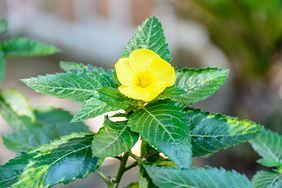 Damiana to roślina, którą warto znać. Ma właściwości zdrowotne