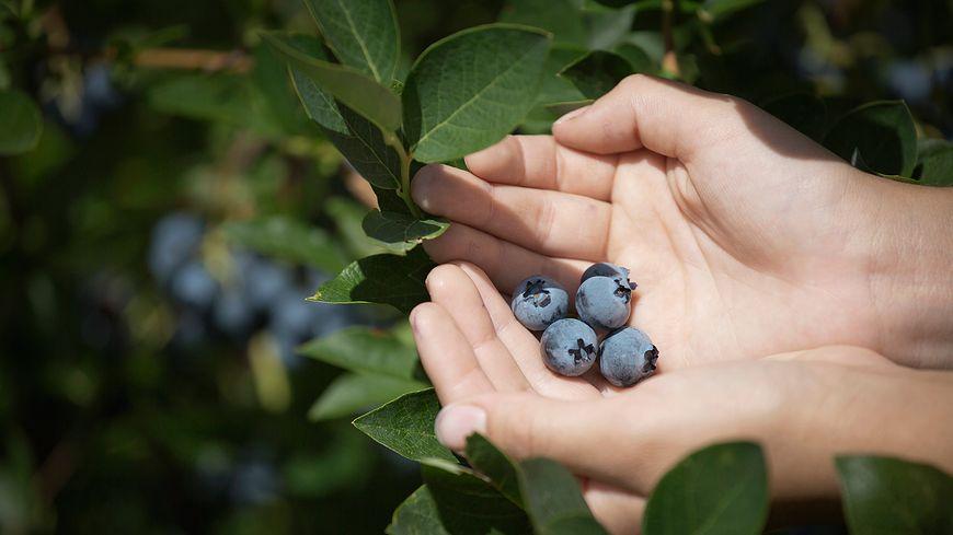 Jagody to źródło składników mineralnych i witamin
