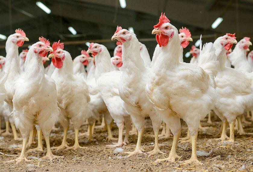 Kurczęta hodowane są w klatkach