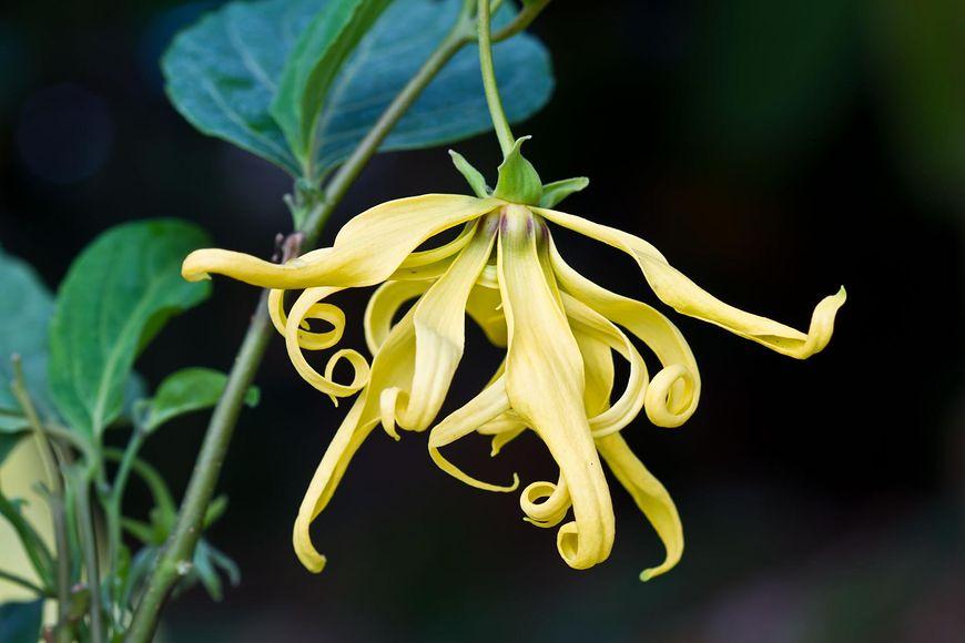 Właściwości olejku ylang-ylang