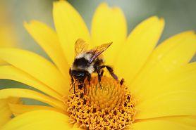 Mleczko pszczele - skład, właściwości, zastosowanie u dzieci