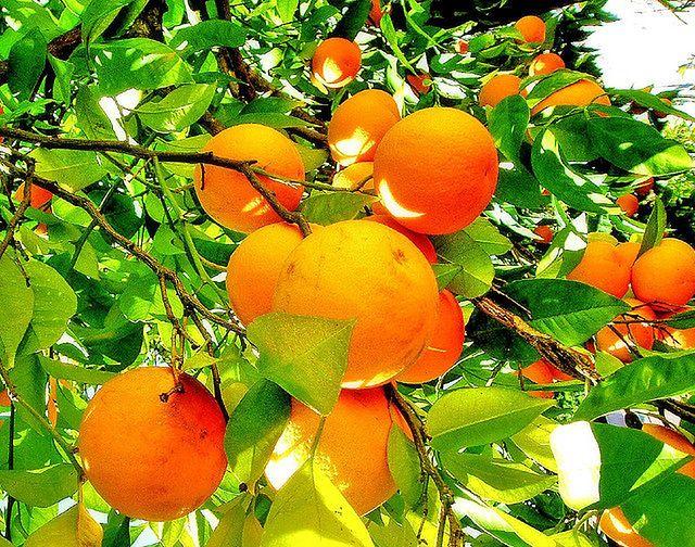 Pomarańcze dobre dla diabetyków
