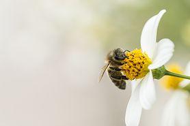Jad pszczeli - zastosowanie